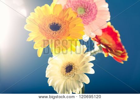 Several Gerbera Daisies, Against The Light, Blue Background