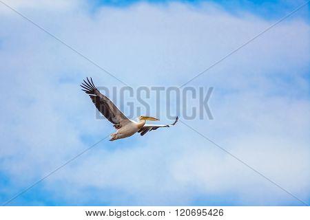 Flying Pelican In The Sky
