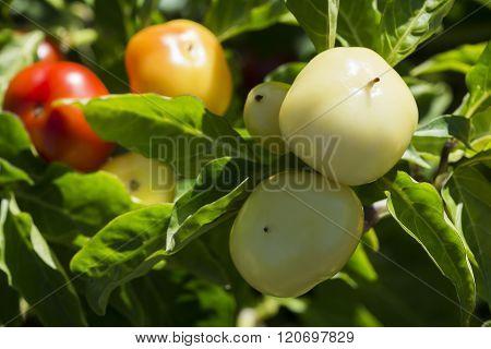 Several Growing Capsicum Annum, Alma Paprika