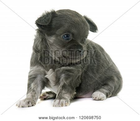 Puppy Longhair Chihuahua