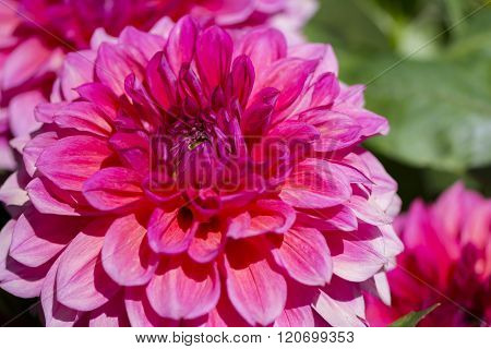 Light Red Kim's Valentine Dahlias