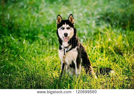 Young Happy Husky Eskimo Dog Sitting In Grass Park