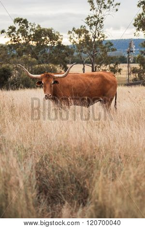Longhorn Cow in the paddock
