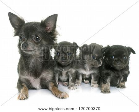 Adult And Puppies Chihuahua