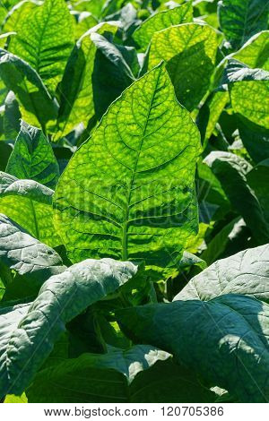 Tobacco Leaves Field