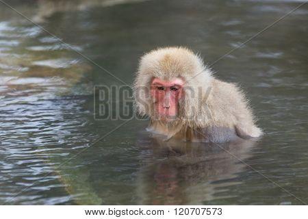 Monkey enjoy onsen in Japanese