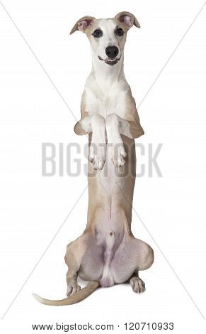 Whippet Dog Sitting Up In Front Of White Background