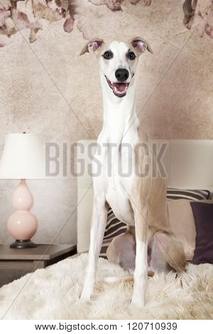 Purebred Whippet Dog Sitting On The Bed