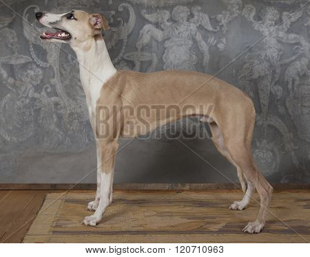 The Whippet Hunting Dog Indoors