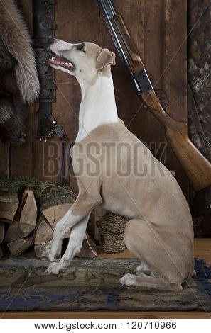 Purebred Whippet Hunting Dog Indoors