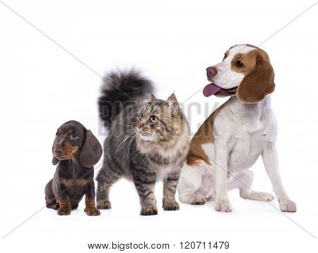 cat and dog, dachshund puppy chocolate color and cat