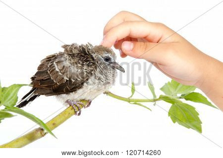 Human Hand Petting A Small Cuckoo