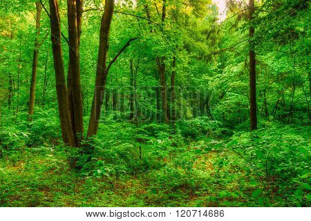 Summer Green Deciduous Forest Trees. Beautiful Nature