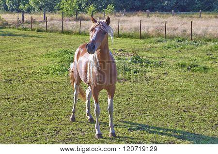 A Chestnut Foal Standing