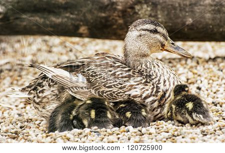 Beautiful Wild Duck With Youngs, Animal Scene
