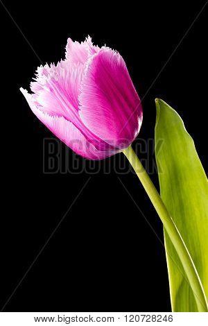 Pink Fringed Tulip
