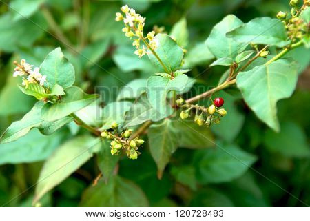 Flowering Green Plant With Red Berry Like Balls