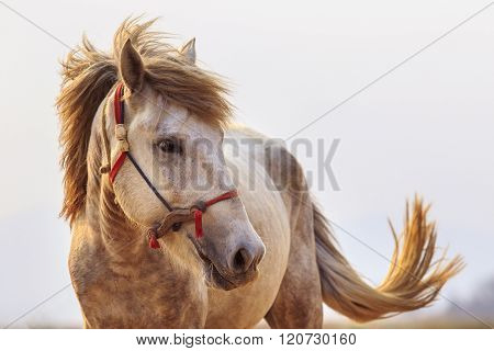 Close Up Head Shot Of White Horse With Beautiful Rim Light Against White Background