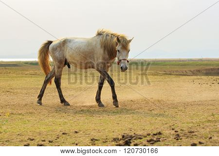 Portrait Full Body Of White Horse With Beautiful Rim Light Against White Background