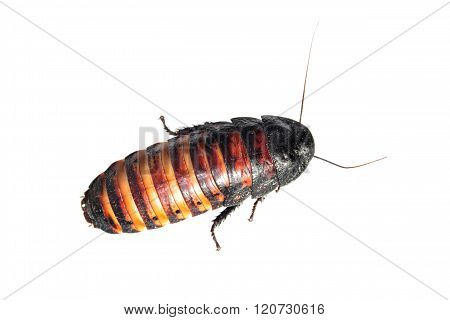 Madagascar hissing cockroach isolated on white