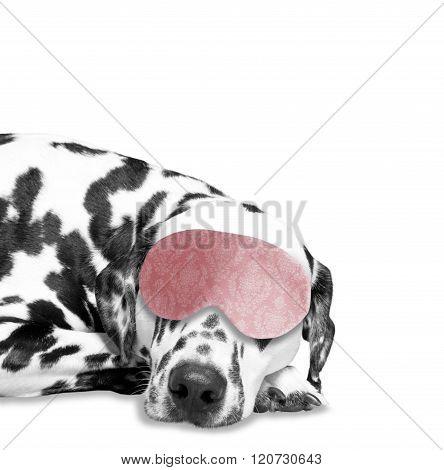 Dog Sleeps. He Is Very Tired