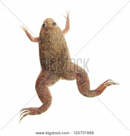 Xenopus laevis (African clawed frog) isolated on white