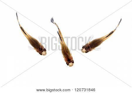 Guppy isolated on white