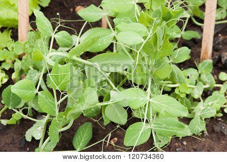 Leguminous Peas Grow On A Bed