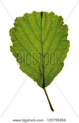 Green leaf of Black alder (Alnus glutinosa) isolated on white