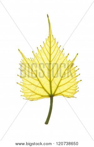 Vernal leaf of Common Grape Vine isolated on white