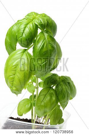 A Growing Branch Of Green Basil.