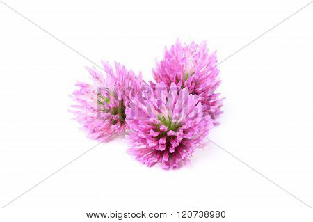 Red Clover Flowers.