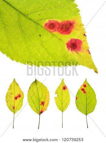 Leaves Infected By Rust Of Cherry Isolated On White