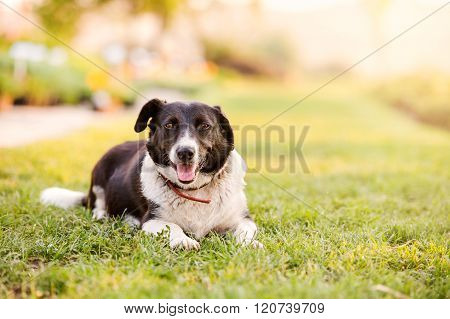 Happy dog lying in green grass with extending paws