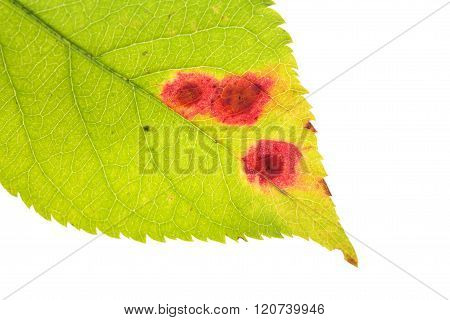 Leaf With Rust Of Cherry