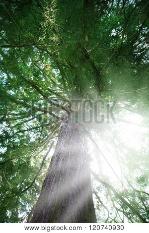 Sun shining through a giant sequoia in the forest