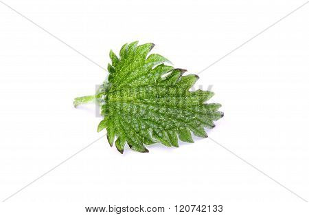 Nettle Leaf Is Isolated.