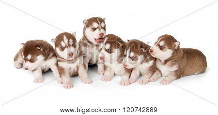 Litter Of Siberian Cooper Red Husky Puppies