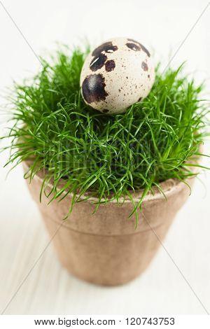 Quails egg on grass