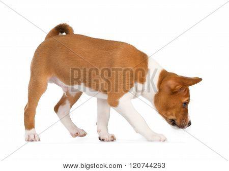 Basenji Puppy Sniffing