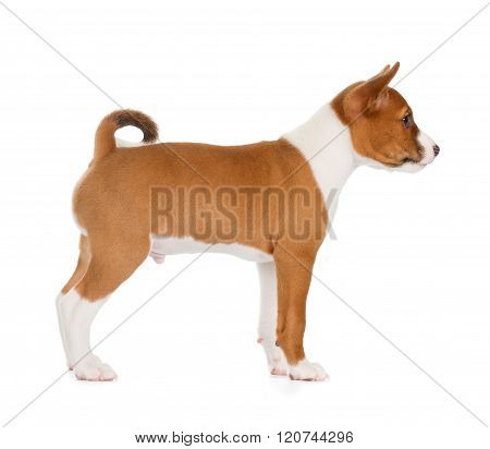 Basenji Puppy