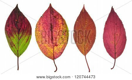 Red autumn leaves of Roughleaf Dogwood isolated on white