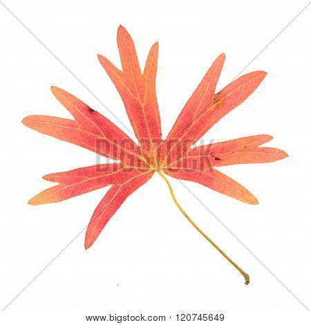 Red leaf of buttercup isolated on white