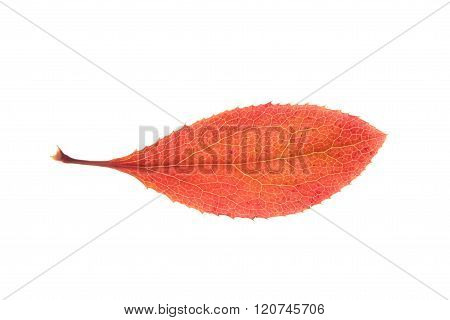 Red autumn leaf of Barberry isolated on white