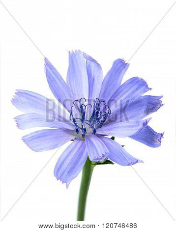 Flower Of Chicory Closeup.
