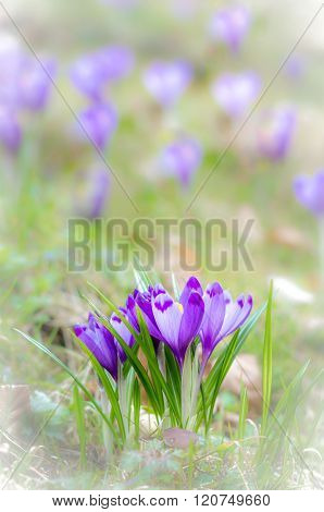 Crocus Flower With Shallow Dof Of Field In Springtime.