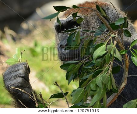Very Nice shot Of a Gorilla Eating Leaves