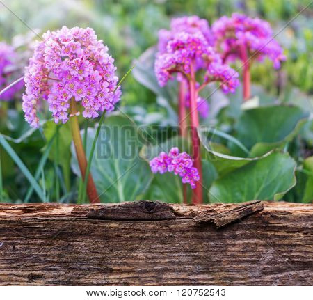 Bergenia behind wood in front of a spring meadow