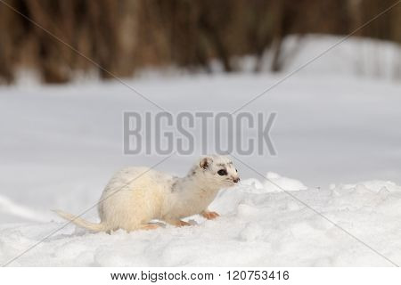 Moulting Least Weasel Sitting At Snow Field