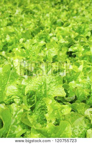 Background of fresh organic lettuce